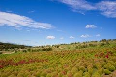 Le Kochia met en place avec le beau ciel dans Ibaraki, Japon Images stock