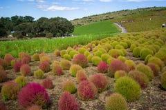 Le Kochia met en place avec le beau ciel dans Ibaraki, Japon Photos libres de droits
