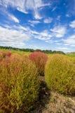 Le Kochia met en place avec le beau ciel dans Ibaraki, Japon Photographie stock libre de droits