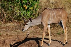Le kudu femelle avec des oreilles expédient la marche, un pied dans l'avant et une jambe arrière légèrement outre de la terre image stock