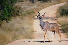 Le kudu plus grand (strepsiceros de Tragelaphus) Photos stock