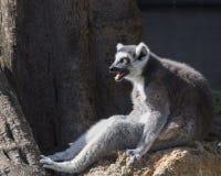 Le lémur Anneau-a coupé la queue Squawker photographie stock