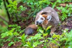 Le lémur de couronne mange au sol images libres de droits