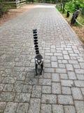 le lémur fonctionne le long d'un chemin pavé vers la caméra photos libres de droits
