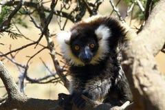 Le lémur ruffed noir et blanc Photo stock