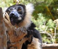 Le lémur ruffed noir et blanc Photos libres de droits