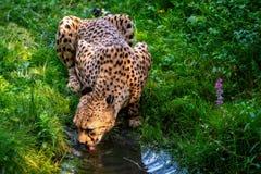 Le léopard africain boit l'eau du courant photo stock