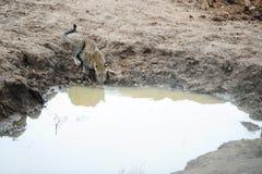 Le léopard boit l'eau dans la jungle Photos libres de droits