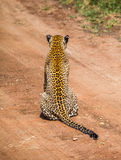 Le léopard chasse dans le sauvage Image stock