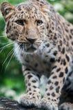 Le léopard d'Amur Photo stock