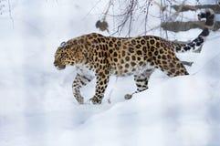 Le léopard d'Amur Image libre de droits
