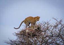 Le léopard d'emboîtement Photo libre de droits
