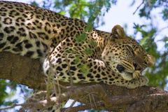 Le léopard dans des yeux d'arbre s'ouvrent Image libre de droits