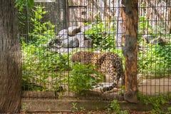 le léopard de neige observe des personnes de valier photo stock