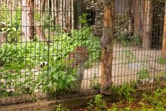 Le léopard de neige observe des personnes de valier photographie stock