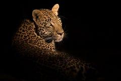 Le léopard fixent dans l'obscurité pour se reposer et détendre Photographie stock