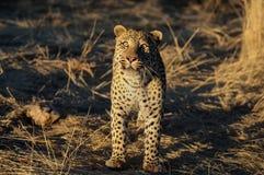 Le léopard regarde Photo stock