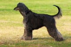 Le lévrier afghan de race de chien se tient en longueur Images libres de droits