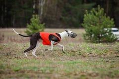 Le lévrier de chien poursuit l'amorce dans le domaine Photos stock