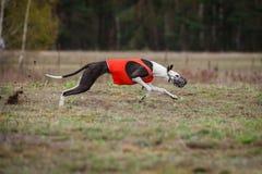 Le lévrier de chien poursuit l'amorce dans le domaine Photos libres de droits