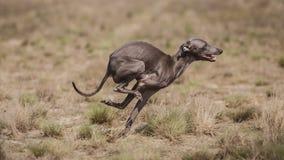 Le lévrier italien de chien poursuit l'amorce dans le domaine Chasser la formation Images libres de droits