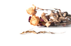 le lézard de couples sont mort parmi le driedflower sur le backgrou blanc Photos libres de droits