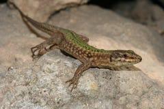 Le lézard de Filfola, filfolensis de Podarcis a protégé le reptile endémique s photo libre de droits