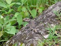 Le lézard de l'Himalaya d'agame mélange dedans la roche Photos libres de droits