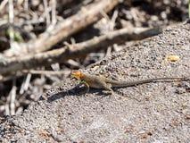 Le lézard masculin de lave de Galapagos, albemarlensis de Microlophus, est endémique à l'île de Galapagos Santa Cruz, Galapagos,  photographie stock
