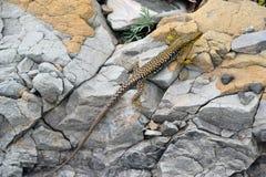Le lézard noir et jaune se repose sur des roches Photo libre de droits