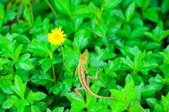 le lézard sur la fleur jaune de plante verte est fleur dans le jardin photo libre de droits