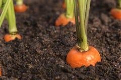 Le l?gume de carotte se d?veloppe dans le jardin dans le plan rapproch? organique de fond de sol photos libres de droits