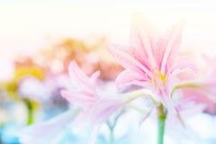 Le labourage de Hippeastrum de fleurs est souvent planté comme ornamental, photo stock