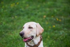 Le labrador, också stängde labrador, labradorite för en gå hans ögon Royaltyfri Fotografi