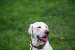 Le labrador, också stängde labrador, labradorite för en gå hans ögon Royaltyfria Bilder