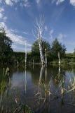 Le lac bouleaux de morts Images libres de droits