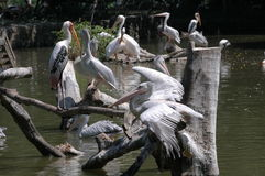 Le lac de pélican Photos libres de droits
