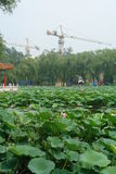 Le lac des lotus de floraison parmi des grues de construction images stock