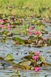 Le lac du lis d'eau rose Photographie stock