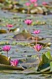 Le lac du lis d'eau rose Photos libres de droits