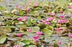 Le lac du lis d'eau rose Photo stock