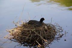 Le lac et une poule d'eau noire, sur un nid Image stock