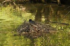 Le lac et une poule d'eau - vue de face Images libres de droits
