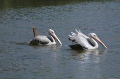 Le lac swan Images libres de droits
