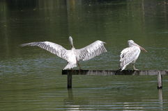 Le lac swan Image libre de droits