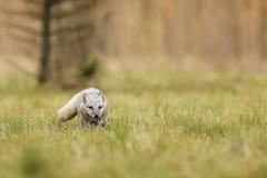 Le lagopus de Vulpes de renard arctique est adapté pendant la vie aux températures au-dessous de zéro image stock