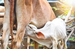 Le lait de nourrisson de veau dans le matin, jeune veau boit du lait de son m photo libre de droits
