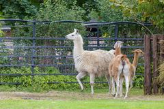 Le lama Photos stock