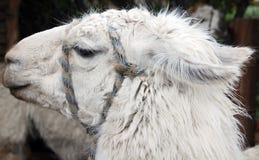 Le lama Images libres de droits