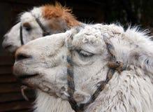 Le lama Photos stock
